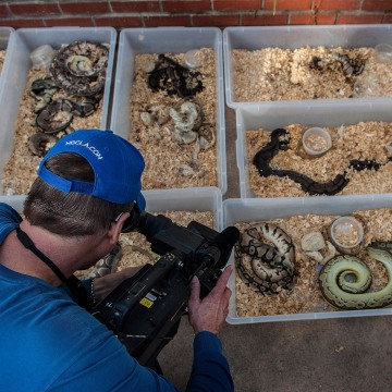 Image: A television cameraman records snakes brought out of a house in Santa Ana, Calif.