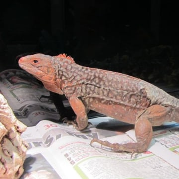 Thirteen endangered iguanas have been seized by UK Border Force officers at Heathrow Airport outside London.