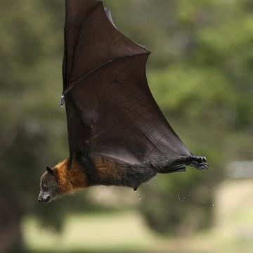 Image: Flying Fox Justine Coplin