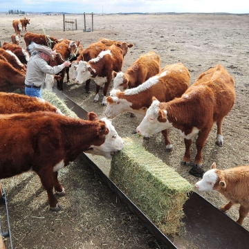 Image: California rancher Nathan Carver delivers hay to feed his herd of beef cattle
