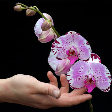 Image: Diamond Sky orchid