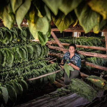 Image: A Cuban worker sews up tobacco leaves