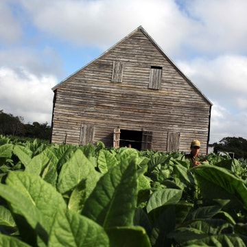 Image: A worker collects tobacco leaves