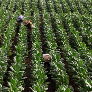 Image: Workers collect tobacco leaves