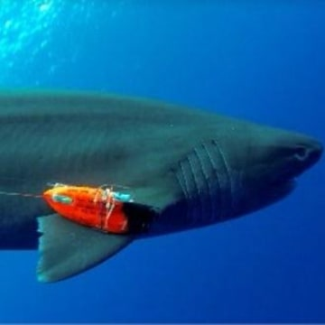 Image: Shark with sensors