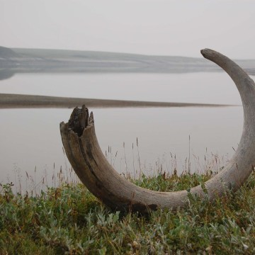 Image: Handout of a mammoth tusk extracted from ice complex deposits along the Logata River in Taimyr, Russia