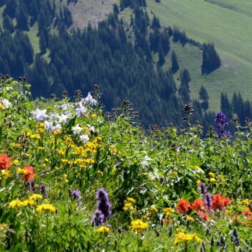 Image: Rocky Mountain wildflowers