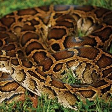 Image: Burmese python
