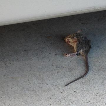 Image: A rat