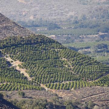 Image:  Avocado trees grow on steep hillsides at a farm in Pauma Valley