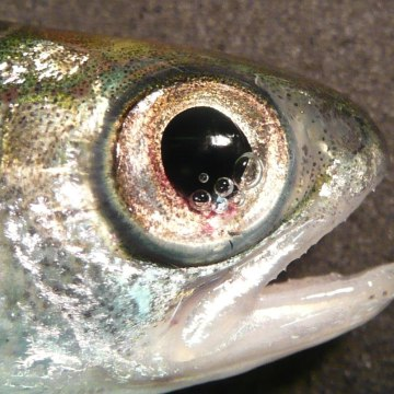 Image: A fish with bubbles in the eye caused by trauma.
