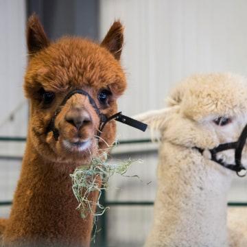 Image: Alpacas at the Vermont Farm Show on Jan. 28