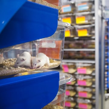 Image: Lab mice used to grow tumors from cancer patients for targeted therapy