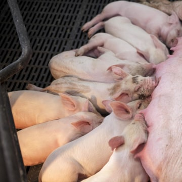 Image: Young piglets nurse on their mother sow in Iowa