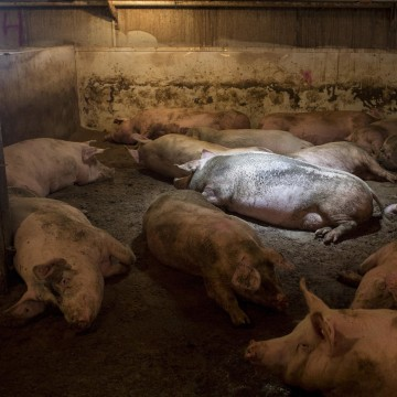 Image: Pigs sleep in their pen in Iowa