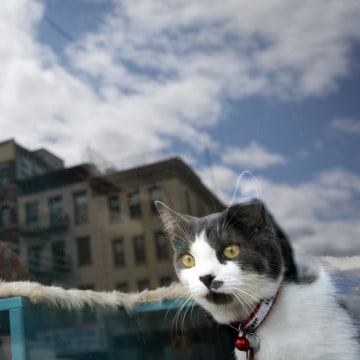 Image: A cat looks out a window at a cat cafe in New York