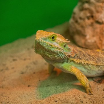 Image: A 'Bearded Dragon' reptile