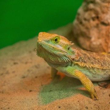 Image: A 'Bearded Dragon' reptile