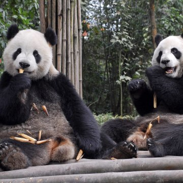 "Image: Two giant pandas named ""Tuantuan"" and ""Yuanyuan"""