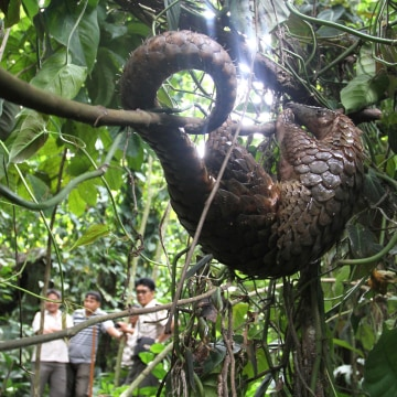 Image: A rescued pangolin is released in the fo