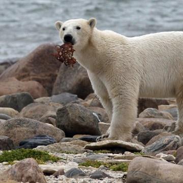 Image: Polar bear