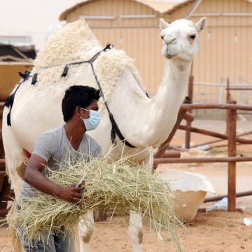 Camels have been identified as a source of MERS