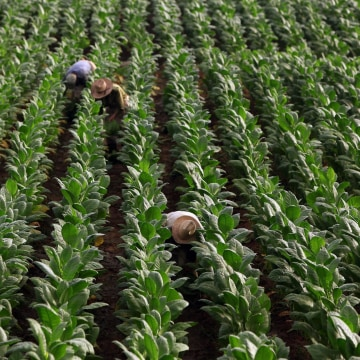 Some U.S. tobacco farms are employing children as young as seven years old, a Human Rights Watch report says.