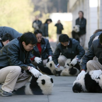 Giant Panda Cubs Move Into Nursery Playground