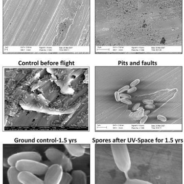 Image: Electron micrographs of Bacillus pumilus SAFR-032 spores on aluminum before and after exposure to space conditions.