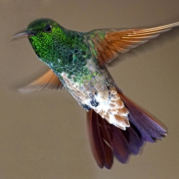 A hummingbird flies over a garden in Mexico