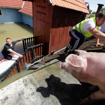 Image: A man climbs on the roof of a house to feed pigs they rescued during heavy floods in the village of Vojskova