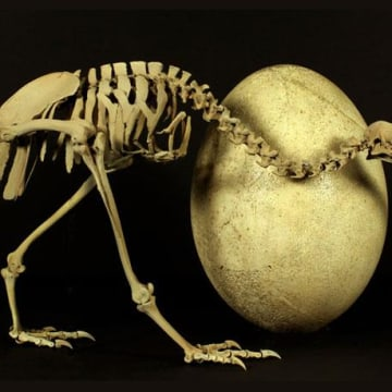 Image: Skeleton of adult kiwi and egg of Madacascar's huge elephant bird