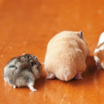 This cute hamster threesome appears in the book 'Hamuketsu, You Could Faint by Its Cuteness'.