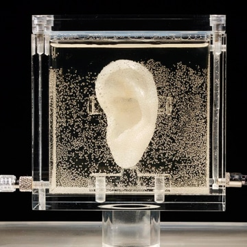 Image: An ear made of human cells grown from samples provided from a distant relative from Dutch artist Vincent van Gogh
