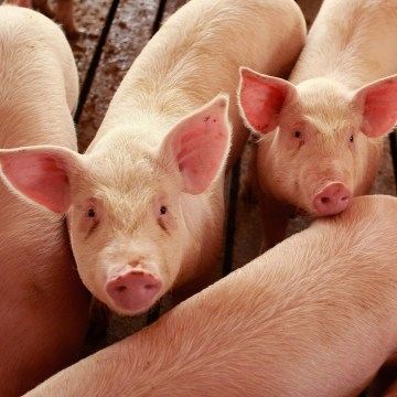 Image: Misconceptions Surrounding Eating Pork And The Swine Flu Lower Hog Prices