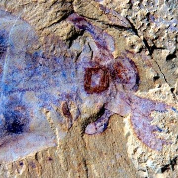 Image: 520 million-year-old sea creature, dubbed Lyrarapax unguispinus, unearthed in China