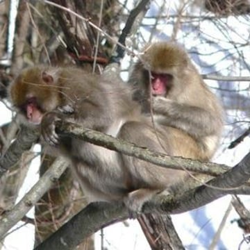 A wild Japanese monkey in Fukushima