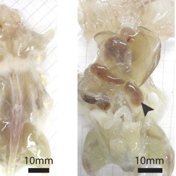 Image: A mouse with its skin removed during various stages of examination