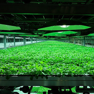Image: Tobacco plants used to help manufacture an experimental drug