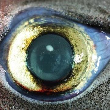 Image: Eye of bioluminescent lantern shark