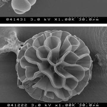 Image: Silica biomorphs
