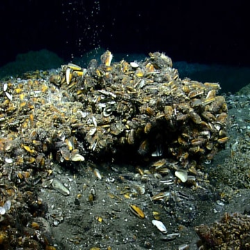 Image: Methane seeps from near a mound covered with deep-sea mussels in the Atlantic Ocean Virginia