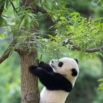 Image: Bao Bao