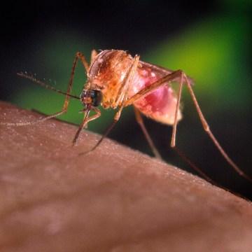 Image: A Culex quinquefasciatus mosquito is seen in this undated handout photo
