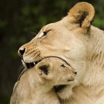 IMAGE: Mother lion and cub