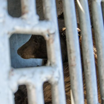 Image: A black bear captured in Carson City
