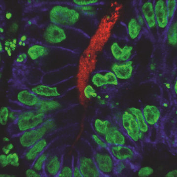Image: Immunofluorescent image of human stomach tissue
