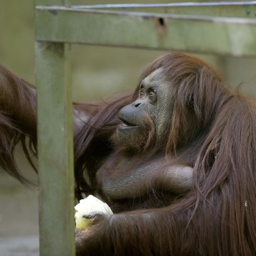 Image: ARGENTINA-ANIMAL-RIGHTS-ORANGUTAN-OFFBEAT