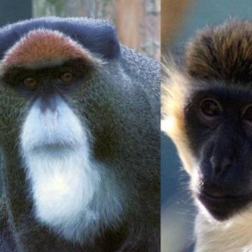 Monkey Mustaches