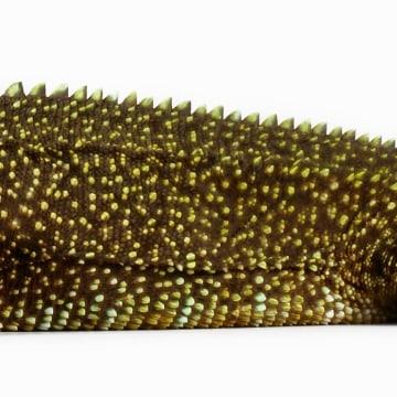 Image: Enyalioides anisolepis